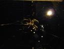 hradní pavouček